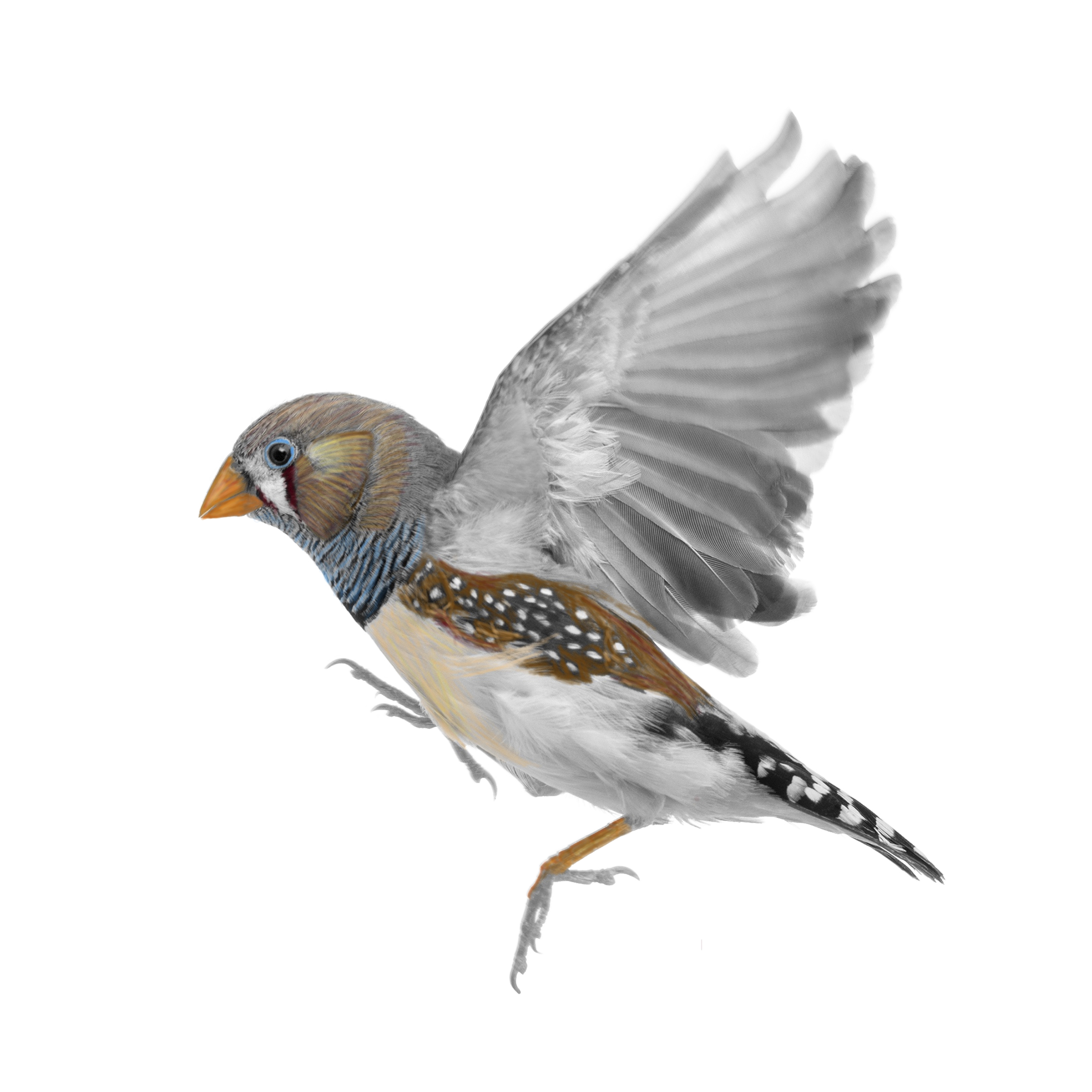 Partially Colored Finch